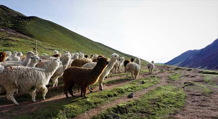 rainbow mountain trekking with alpacas and llamas